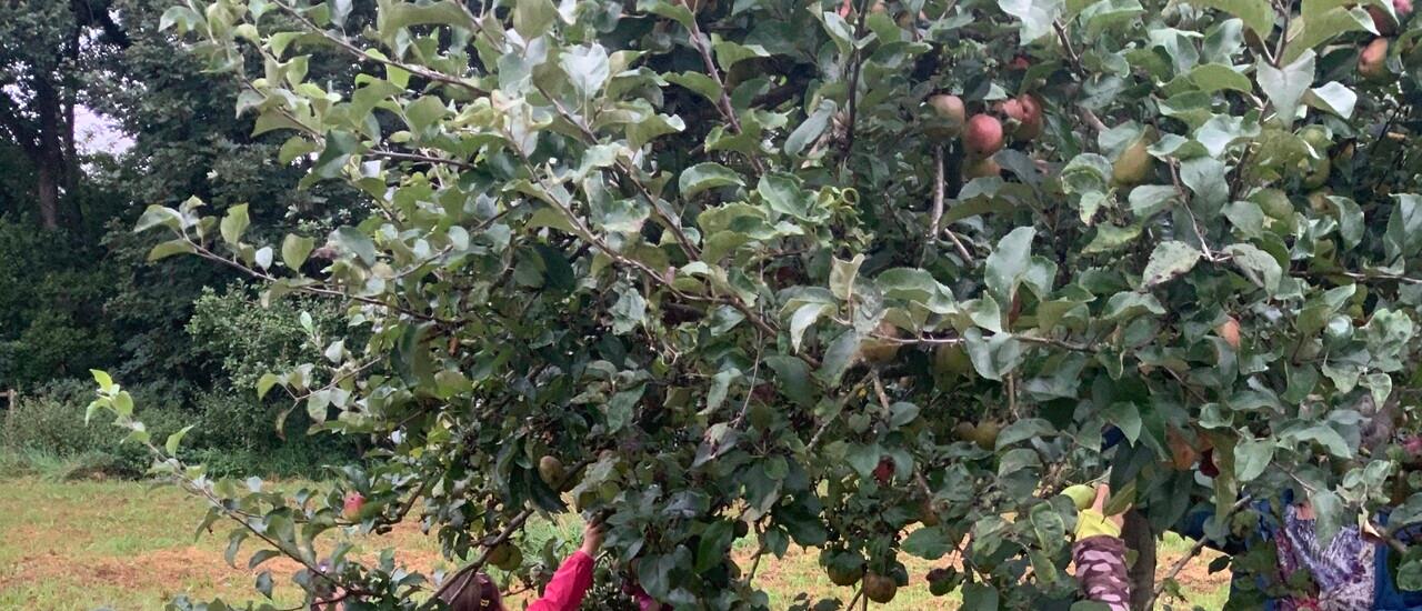 Gemeinsames Apfelprojekt der AWO-Kita Übach mit dem Naturschutzbund 2
